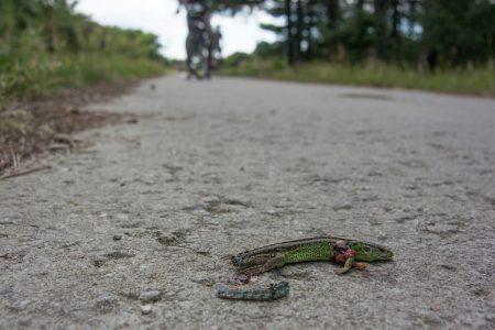 doodgereden zandhagedis op fietspad