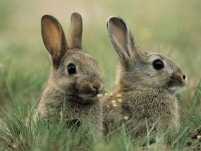 konijnen op golfbaan