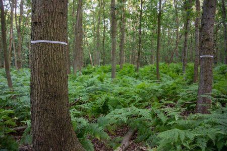 Bomenkap in eikenbossen waterleidingduinen